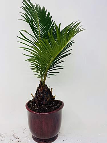 Sago Palm - 4.5' Ceramic Pot - unique from jmbamboo