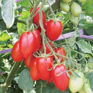 ミニトマトの種 シシリアンルージュTY 8粒