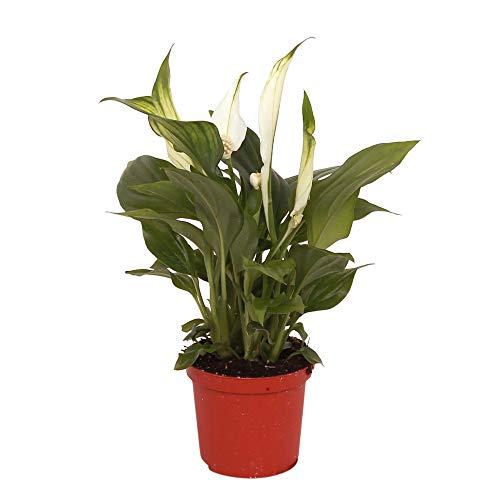 Einblatt Höhe 70– 80 cm Topf-Ø ca. 17 cm Spathiphyllum