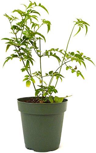 Jazmín Jasminum Polyanthum Planta Natural en Maceta de 17cm Jazmín de Invierno