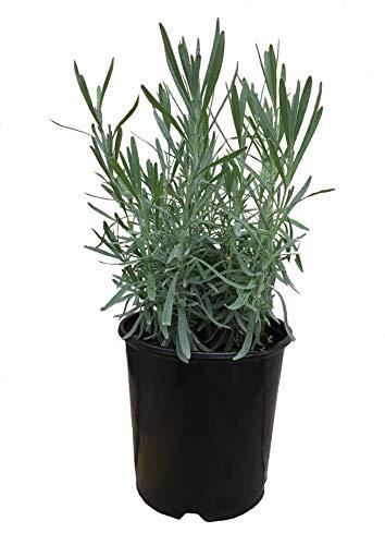 Premier Plant Solutions 18121 Lavandula Grosso Lavender, 1 Gallon
