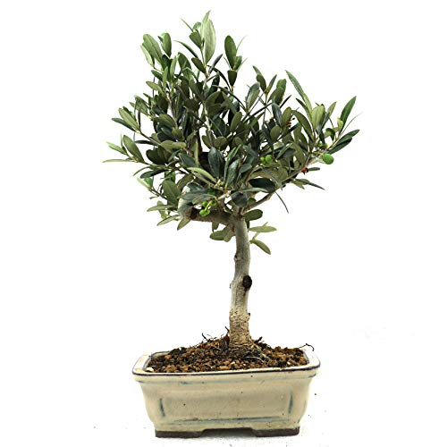 Bonsai Olivenbaum, Olea europaea, 7 Jahre, 28 cm Höhe
