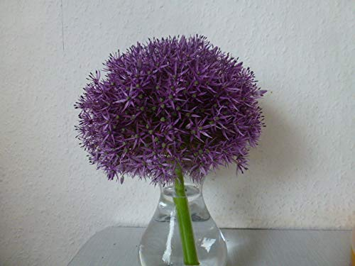 3 Blumenzwiebeln Zierlauch XL Allium-Zwiebeln Allium Globemaster Riesenball
