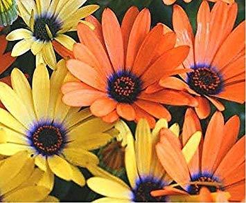 Fash Lady Afrikanische Gänseblümchen-Mischung - 100 Samen