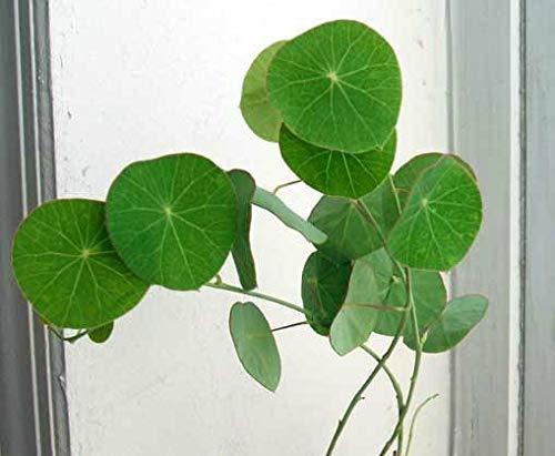 FERRY Bio-Saatgut Nicht nur Pflanzen: 1 Stephania E, MENIACEAE + Free Phyto Zertifikat