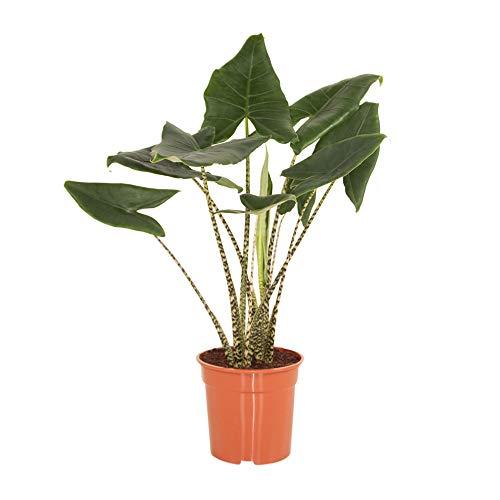 Árbol de interior de Botanicly | oreja de elefante o una planta Skeleton | Altura: 100 cm | Alocasia Zebrina