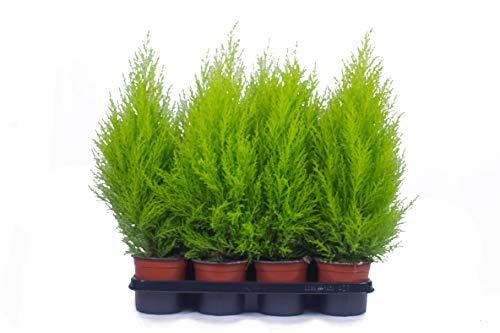 Zypressen 8 Stück in 70cm A1 Qualität MPS kontrolliert Unsere Pflanzen sind bereits für Sie vorgedüngt