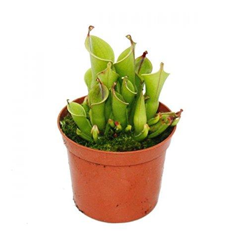 Exotenherz - Fleischfressende Pflanze - Sumpfkrug - Heliamphora - 9cm Topf - Rarität
