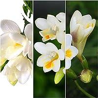 フリージア フリージア球根 ファッション 鉢植え ガーデニング-10 球根,ホワイト