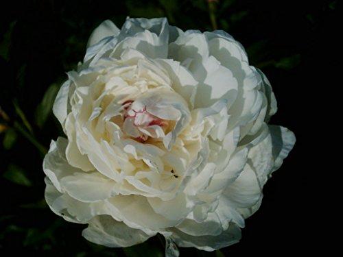 Pfingstrose im 1,5l Topf: Gardenia Paeonie