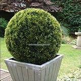 50pcs / bag bolas Sabina chinensis (bolas de enebro) Semillas Semillas Bonsái, purificar el aire, bricolaje planta de jardín de su casa.