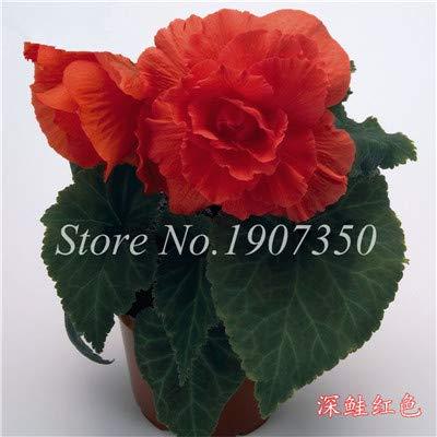 Shopmeeko Graines: 100 Pcs/Mitigé Begonia fleur en pot de bonsaïs d'intérieur Decoratie beau jardin mur usine Décoration pour l'arbre de Noël: 12