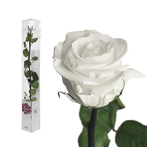 Echte Rose konserviert - 50cm WEISS - preserved, gefriergetrocknete Blumen mit Stiel und Blättern - lange haltbare Schnittblumen in Geschenkbox, beste Deko