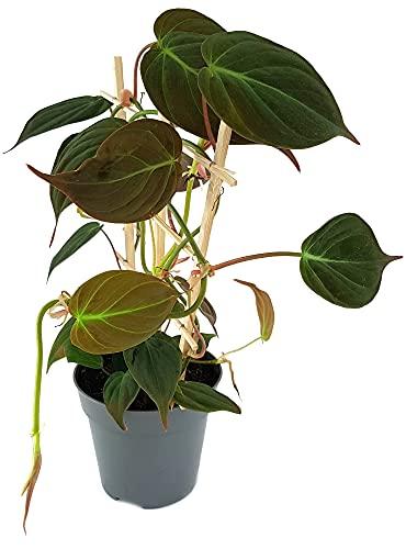 Fangblatt - Philodendron Micans am...