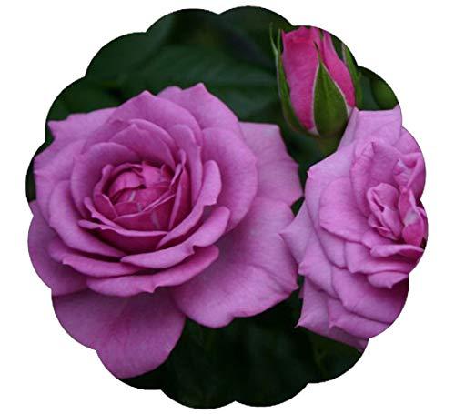 Lavender Veranda Rose Plant Potted | Reblooming Purple Fragrant Flowers Rose Grown Organic | Great for Containers - 35+ Petal Flowers!…
