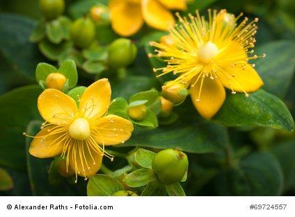 Echtes Johanniskraut Hypericum perforatum Heilpflanze Herrgottsblut 500 Samen