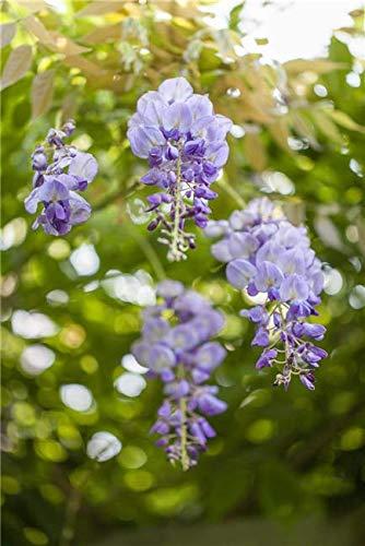 Chinesischer Blauregen Wisteria sinensis veredelte Kletterpflanze im Topf gewachsen (40-60cm)