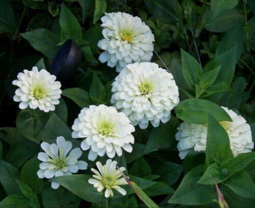 POLAR BEAR ZINNIA (Zinnia Elegans) 50 seeds
