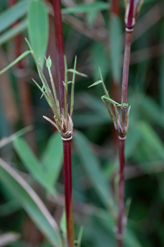 Roter-Bambus Fargesia jiuzhaigou winterhart und schnell-wachsend (80/100 cm hoch)