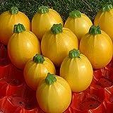 Shop Meeko Kings Seeds - zucchine Floridor F1-15 Semi