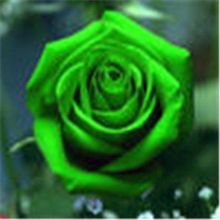 Big vente Pots de fleurs jardinières, 12 sortes de 200 graines, Rainbow Rose semences belle rose semences Bonsai plantes Semences pour la maison et gard