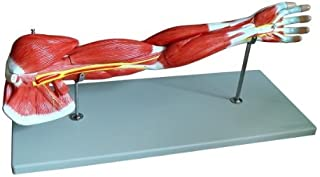 anatomical arm