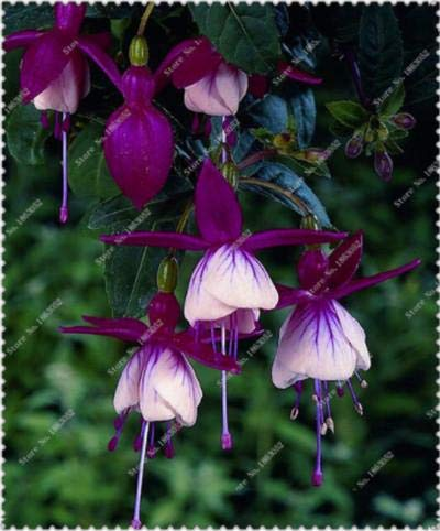 100 PC/bag fuchsia Samen, Fuchsie, Bonsai Hängende Samen, Topf Laterne Begonia Samen für Hausgarten