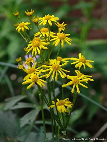 Perennial Farm Marketplace Senecio aureus (Golden Ragwort) Perennial, 1 Quart, Goldish Yellow Flowers