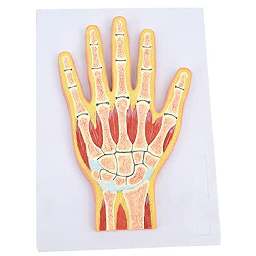 HUIGE Menschliche MRI-Handgelenk-Muskelmodell, Handgelenk-Gelenkprofil Hand Gemeinsame Querschnittsstruktur Anatomisches Modell Für Medizinische Orthopädie Unterricht