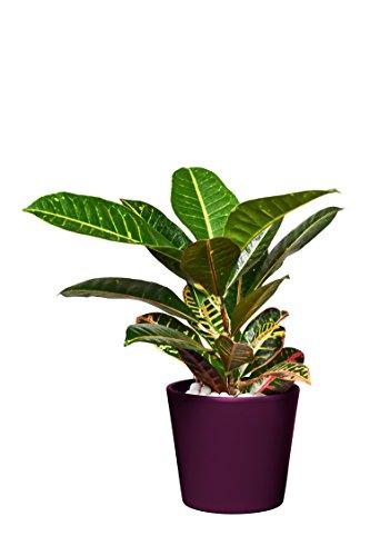 EVRGREEN   Zimmerpflanze Wunderstrauch in Hydrokultur mit violettem Topf als Set   Kroton   Croton variegatum 'Petra'