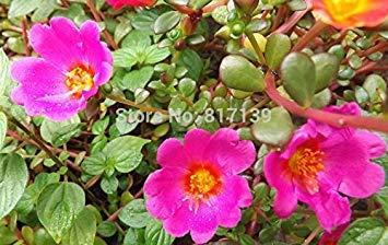 Neue Ankunft 100 Samen Hausgarten-anlagen PORTULACA MOOS ROSE MISCHFARBEN Blumensamen