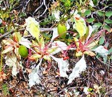 DELONIX PUMILA, flamboyán Flamboyant MUY RARO semillas de plantas bonsái - 10 SEMILLAS