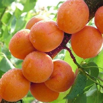 Generic Generische Aprikosenbaum Samen Garten Obstgarten Grüne Pflanzen Essbaren Obstbaum Samen -2 Teile/paket