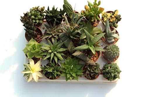 20 suculentas naturales, raras y coleccionables, sin espinas, una diferente de la otra, 5,5 cm. Producción de Viggiano Cactus