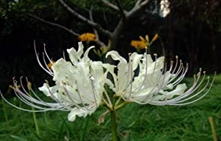 White Spider Lily Bulbs Lycoris Bulbs(4 Bulbs) Hot Sale Perennial Flowers Bonsai Amazing Garden Decoration