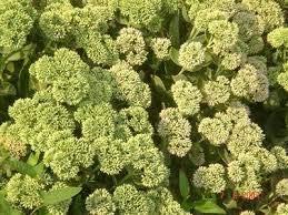 Mix-couleurs Orpin 50pcs de semences / sac Graines Sedum spectabile Boreau Fleur Belle Fleur jardin Bonsai Plante
