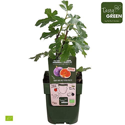 Ficus gustissimo