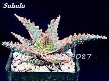 Nouveau! 20 Pcs coloré Cactus Rebutia Variété mélange exotique Aloe Graines Cacti Rare Bureau Cactus comestibles Beauté Succulent Bonsai Plante 9