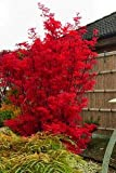 Keland Garten - 20pcs Rarität Japanische Zierahorne Fächerahorn 'Skeeter's Broom' korallenrot, Baumsamen Blumensamen mehrjährig winterhart für Garten/Balkon