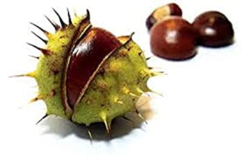 Horse-Chestnut Plant 8-14 inches Tall  Aesculus hippocastanum   1-2 Year Old
