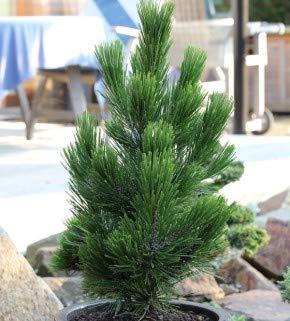 Zwerg Schlangenhautkiefer Little Dracula 20-25cm - Pinus leucodermis