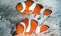【海水魚/観賞魚/スズメダイ】 カクレクマノミ ※ペア販売 ■サイズ:3cm〜4cm± (3ペア)