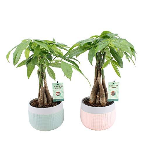 Plantas de interior de Botanicly – 2 × árbol del dinero en maceta cerámica 'MINT-MOSAIC' como un conjunto – Altura: 45 cm – Pachira aquatica