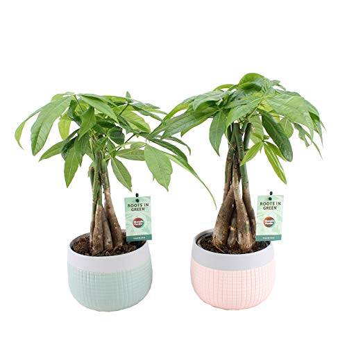 Kamerplanten van Botanicly – 2 × Geldboom in keramiek pot 'MINT-MOSAIC' als set – Hoogte: 45 cm – Pachira aquatica