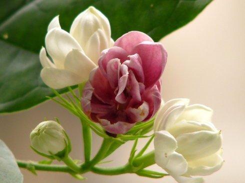 PERTE DE VENTE PROMOTION! graines de fleurs en pot. 10 PC graines de jasmin double couleur. plantes intéressantes