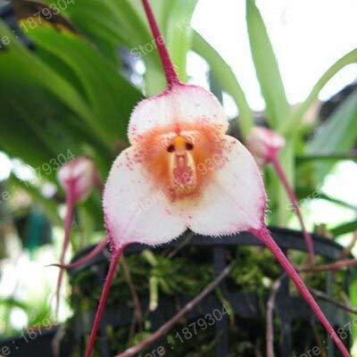 Verde: 200 Unids/bolsa Semillas de Orquídeas Raras, Semillas de Plantas Bonsai Orquídeas Raras Semillas de Flores de Cara de Mono Semillas de Flores de Crecimiento Natural para el Jardín de su Casa
