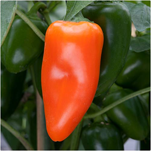 Sweet Pepper F1 'Snack Orange' x 3 Plug Plants for Potting on by Growtanical