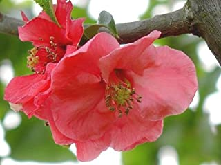 Best pink lady flowering quince Reviews