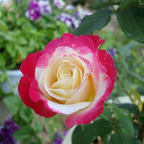 Flower Fairy Rose Seeds 100+ (Rosa rugosa Thunb) Easy Grow Bio-Blume Hochwertige Pflanzensamen zum Pflanzen im Garten im Freien