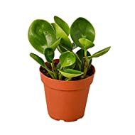 """HOUSE PLANT SHOP   Peperomia 'Thailand' in 4"""" Pot   Live Indoor Plant   Free Care Guide"""
